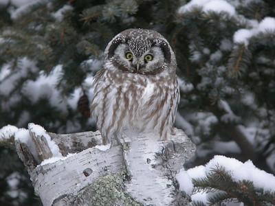 Boreal Owl 3