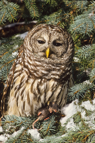 After a snowy day this Barred Owl captured some dinner.  Mice are plentiful in fields and a major source of food for owls.