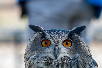 Owls-12 Nov 2016-5670