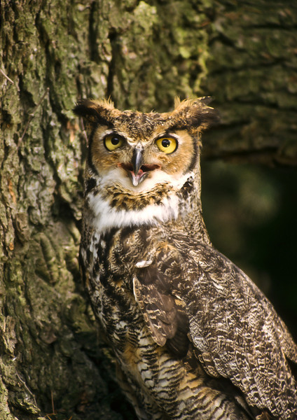 This Great Horned Owl blends well with his habitat.