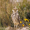 This Burrowing owl and his neighbors had no idea that their homes were now a housing development.  His property is staked out where a new home will be built.