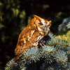 Screech Owls enjoy forest with old growth trees that provides them with hollows for homes and nesting.  This screech has found a mouse, one of his favorites.  He will eat the mouse in three swallows.