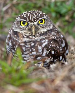 Burrowing Owl ~ Brian Piccolo Park