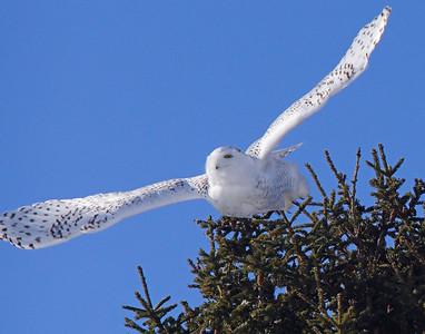 Snowy Owl 004