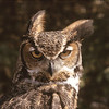 """I don't like the wind.""  The Great Horned Owl doesn't like his feathers blown about.  His expression is priceless."