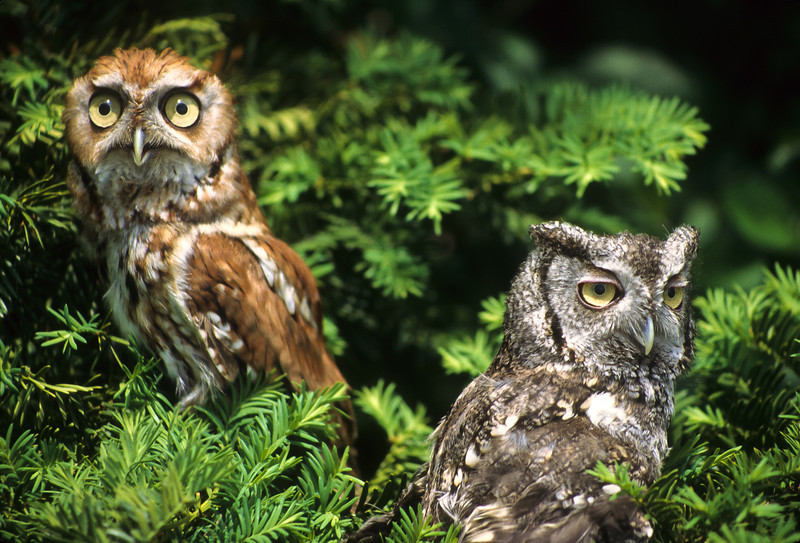 These Screech Owls are siblings, perhaps brother and brother or sister and sister.  Whatever their relationship, they are fun.  They keep moving around the branches.