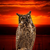 Sunset Owl in Morro Bay