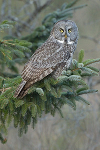 Great Grey Owl 003