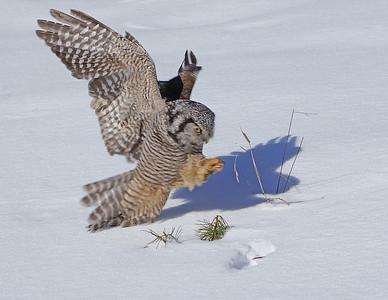 Hawk Owl 4