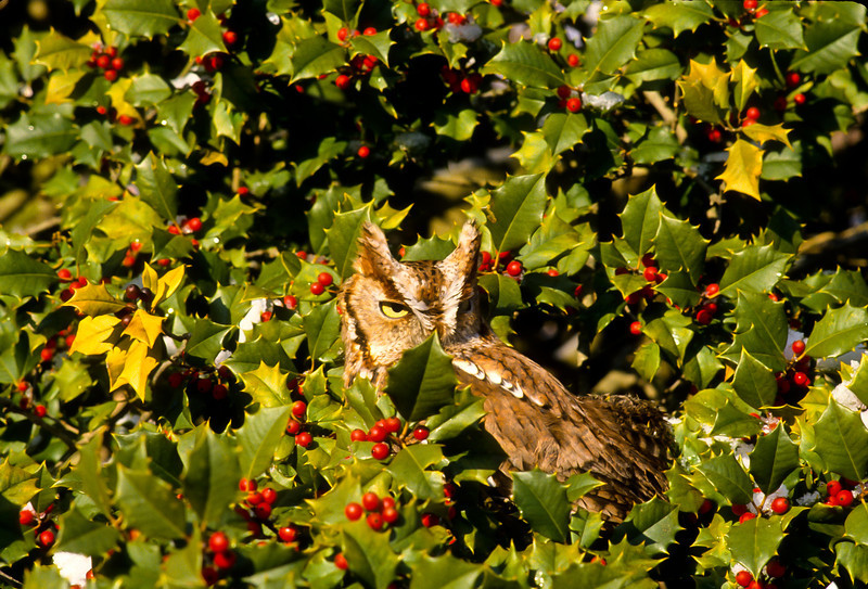 This bright, small Screech owl is having a fine time in his Holly tree.  He is so small that he looks just like a branch.