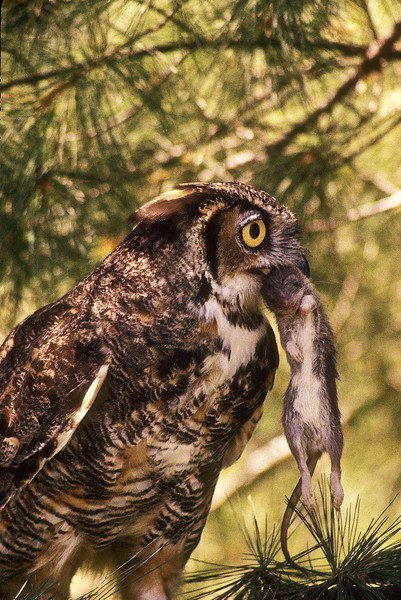 There is always the concern of dropping the prey, so it is held tightly.  When hunting they can turn their head and the noise of prey is pinpointed both horizonally and vertically.  This Great Horned Owl has made a big catch.