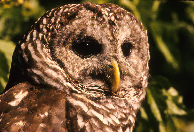 Barred owls are known by several names, an eight hooter, a rain owl, wood owl, and stripped owl.  As children we knew them as hoot owls.