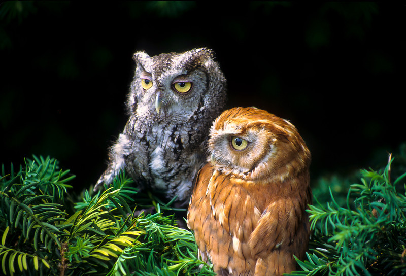 Screech Owl feathers are usually a brownish hue which protects them in their habitat.  But these owls have a genetic change which is common in nature.  They are light gray and red.