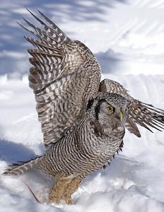Hawk Owl 8