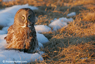 Sunlit Owl