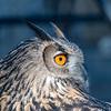 Owls-12 Nov 2016-5663