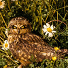 A Short Eared Owl was walking about in the tall grass.  The evening sun makes him shine.  How nice for the flowers to be in the clearing.  I think he disapproves.