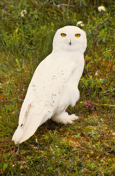 Snowy Owls are fine hunters and will eat almost anything that is their size or smaller.  They hunt close to the nest to raise and protect the young.