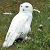 Snowy Owls like the colder polar climates but if prey becomes hard to find they head south.  I have seen them in the Maritimes and as far south as Cape Cod.  They build nest on the ground, perhaps a mound of dirt or other ground related structure.  This owl is not far from his nest.