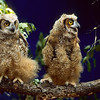 A pair of Great Horn Owl chicks.  All they think about is food and when will more arrive.  Their feathers have not grown in, leaving them a bit dishelved.