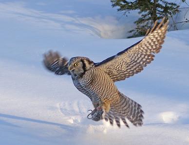 Hawk Owl 3