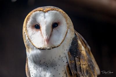 Washington State Barred Owl