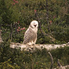 A very young Snowy Owl waiting for Mother to bring dinner.  Soon this owl will be on his own.  He lives in a dense forest with cover and ample prey.