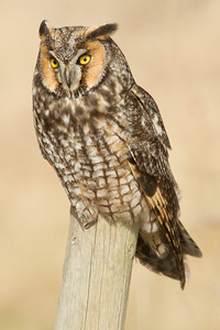 Long Eared Owl 0001