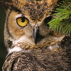 The Great Horned Owl have wonderful binocular vision and can see prey from the tree tops.