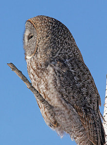 Great Gray Owl 10