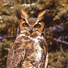Owls have small bodies, they are all feathers.  This is the Great Horned Owl, but of course they have no horns, it is all feathers.  Note the color variations allowing them to blend with their surroundings.