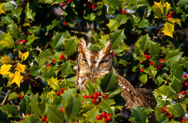 His small size makes this a good place to hide.  Female screech owls choose a mate upon the size and beauty of the prospective owl and how well stocked the nest is.