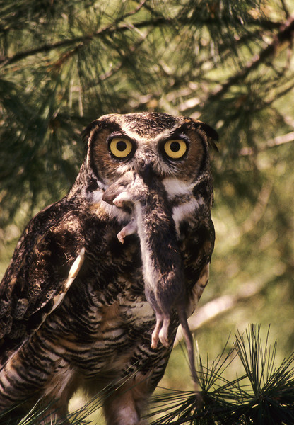 The Great Horned Owl has done well for dinner.