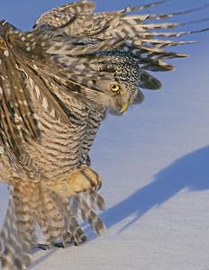 Hawk Owl 9