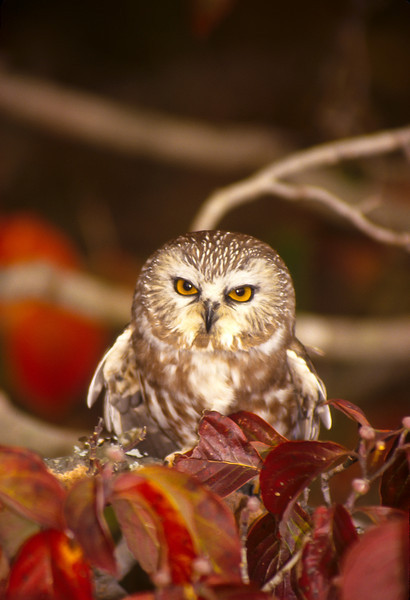 This Saw Whet Owl sat for only a second before flying off.  They are named for the sound they make which is similar to a knife being sharpened on a whetstone.