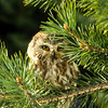 Saw Whet Owl hiding in a fir tree and does not want to be seen.  They like trees and will nest within a hole left by another bird.