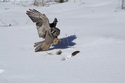 Hawk Owl 6