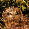 The Short Eared Owl is waiting for prey.  The low level sun turns his feathers red.