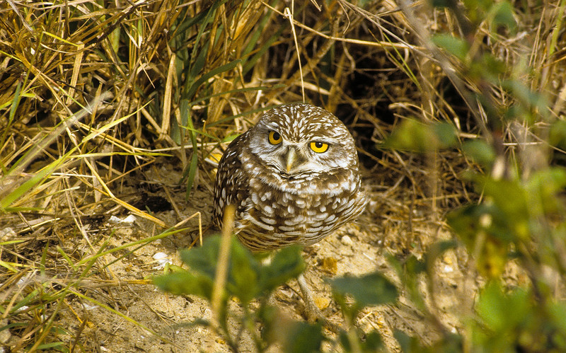 This very small Burrowing Owl has such large eyes.  He is curious.  He is living in a sand and tall grass habitat and blends nicely.