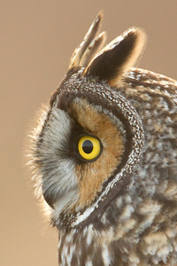 Long Eared Owl 0012