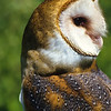 Barn Owls have an open face which helps them locate the sound of prey running in the brush.  Their heads can turn 180 degrees one way and 180 the next.