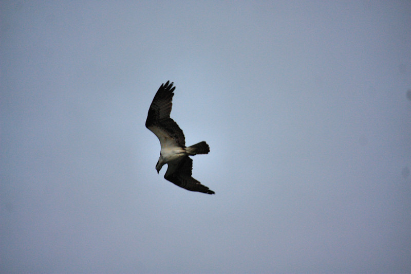 a resident Osprey about to dive for some breakfast right above me
