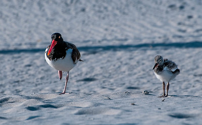Oystercatchers and Terns
