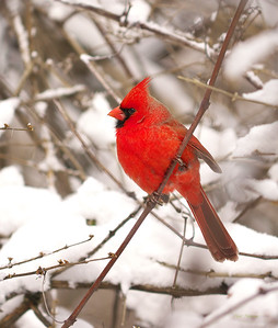 Tanagers to Cardinals and Allies