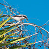 Loggerhead Shrike, Lanius ludovicianus