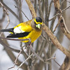 Evening Grosbeak, Hesperiphona vespertina