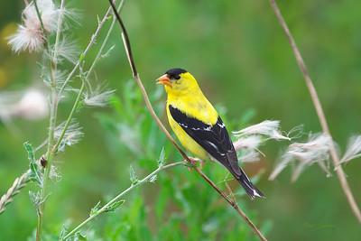 Birds Passerines