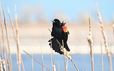 Orioles & Blackbirds to Indigobirds