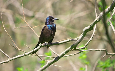 Common Grackle, Quiscalus quiscula