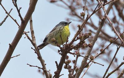 Kirtland's Warbler, Setophaga kirtlandii